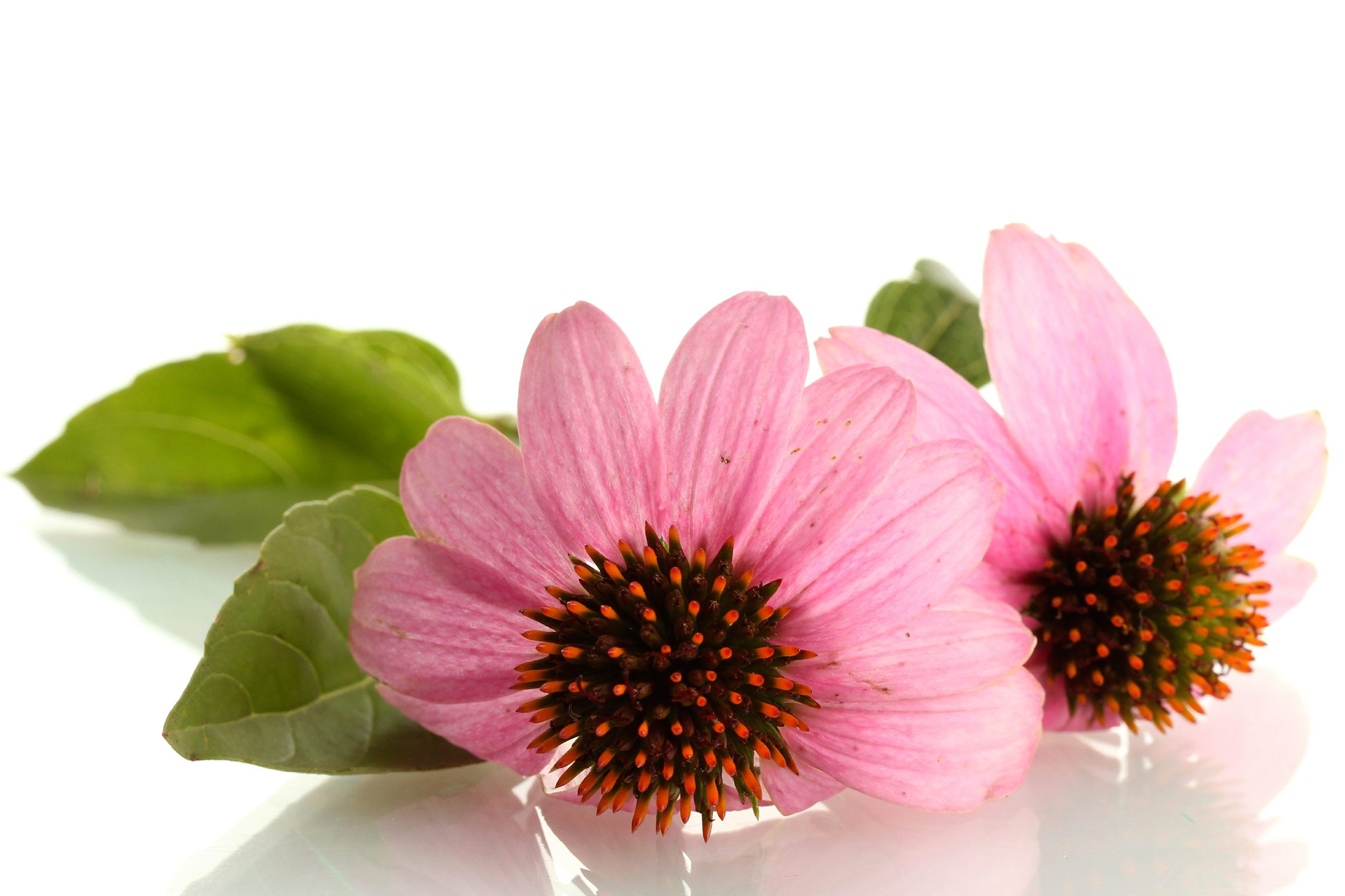 Sore throat remedy: Echinacea and water