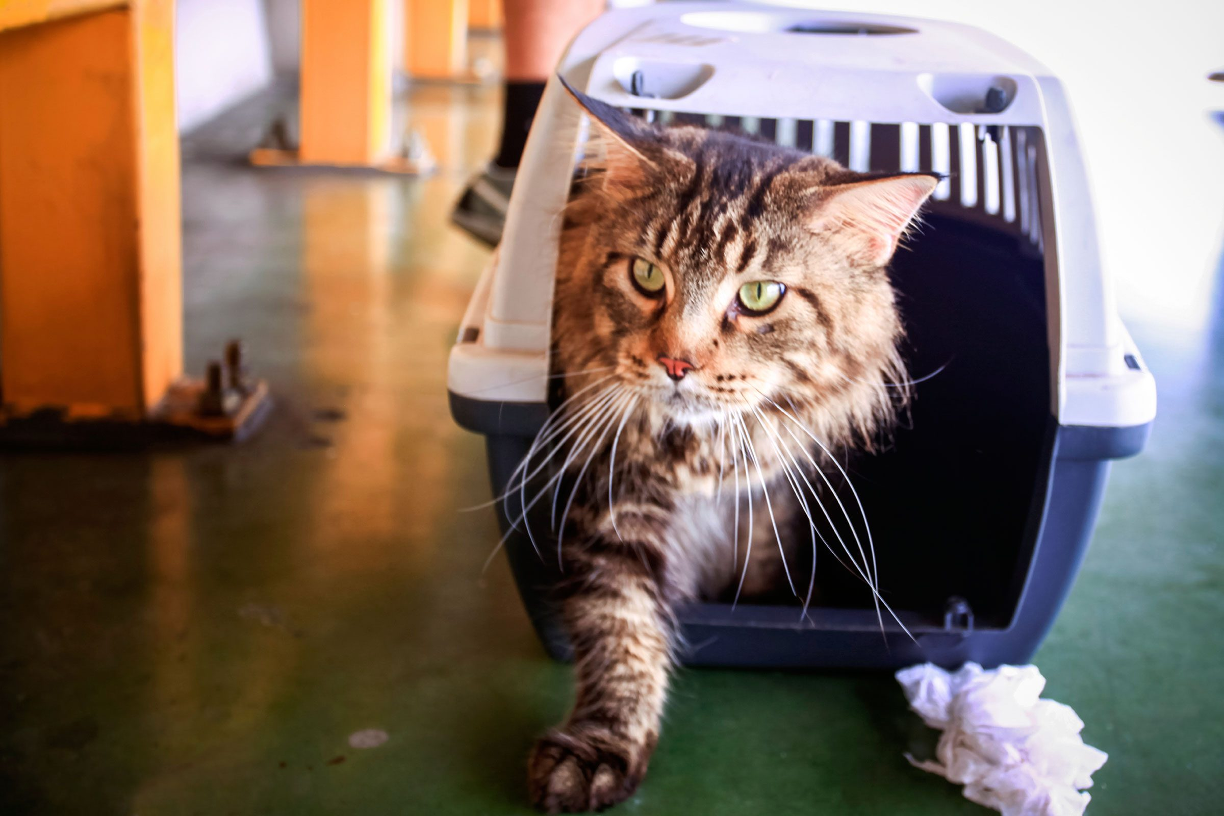 Take your cat to the vet in a plastic cat carrier with a removable top