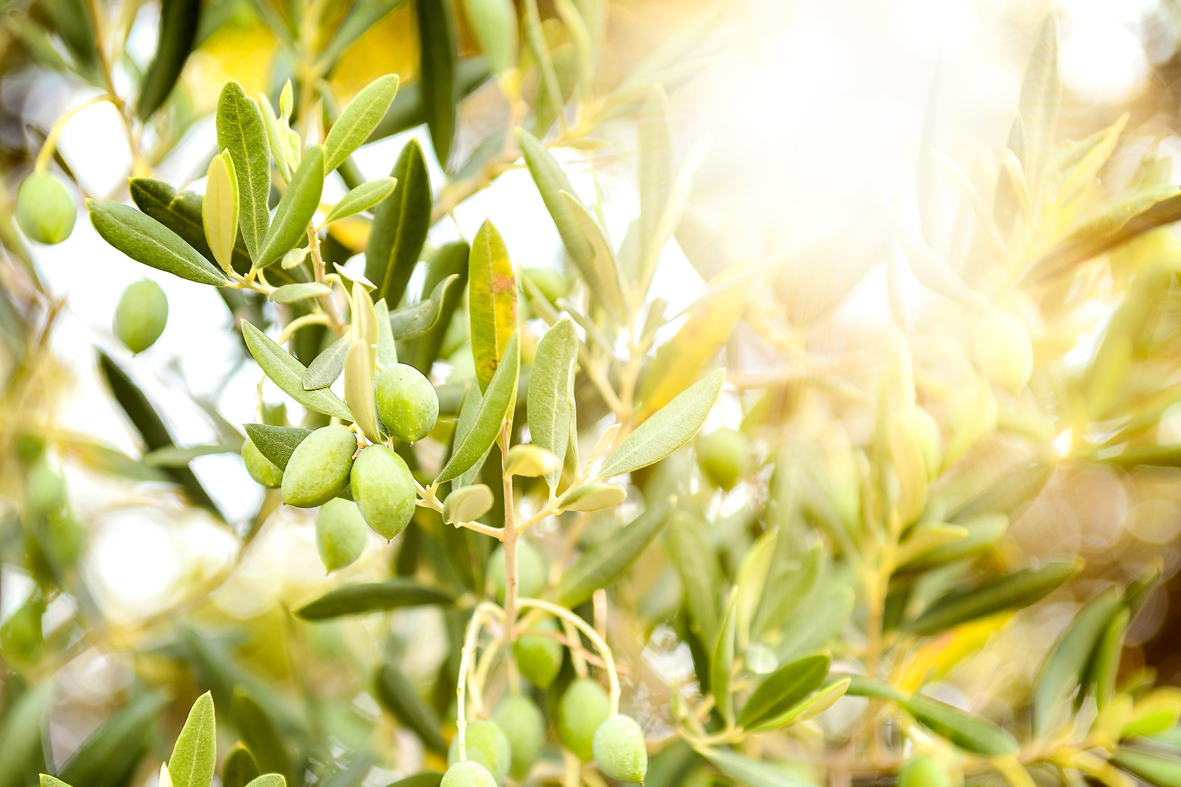 Who knew: It takes 1,375 olives just to make one 32-ounce bottle of olive oil.