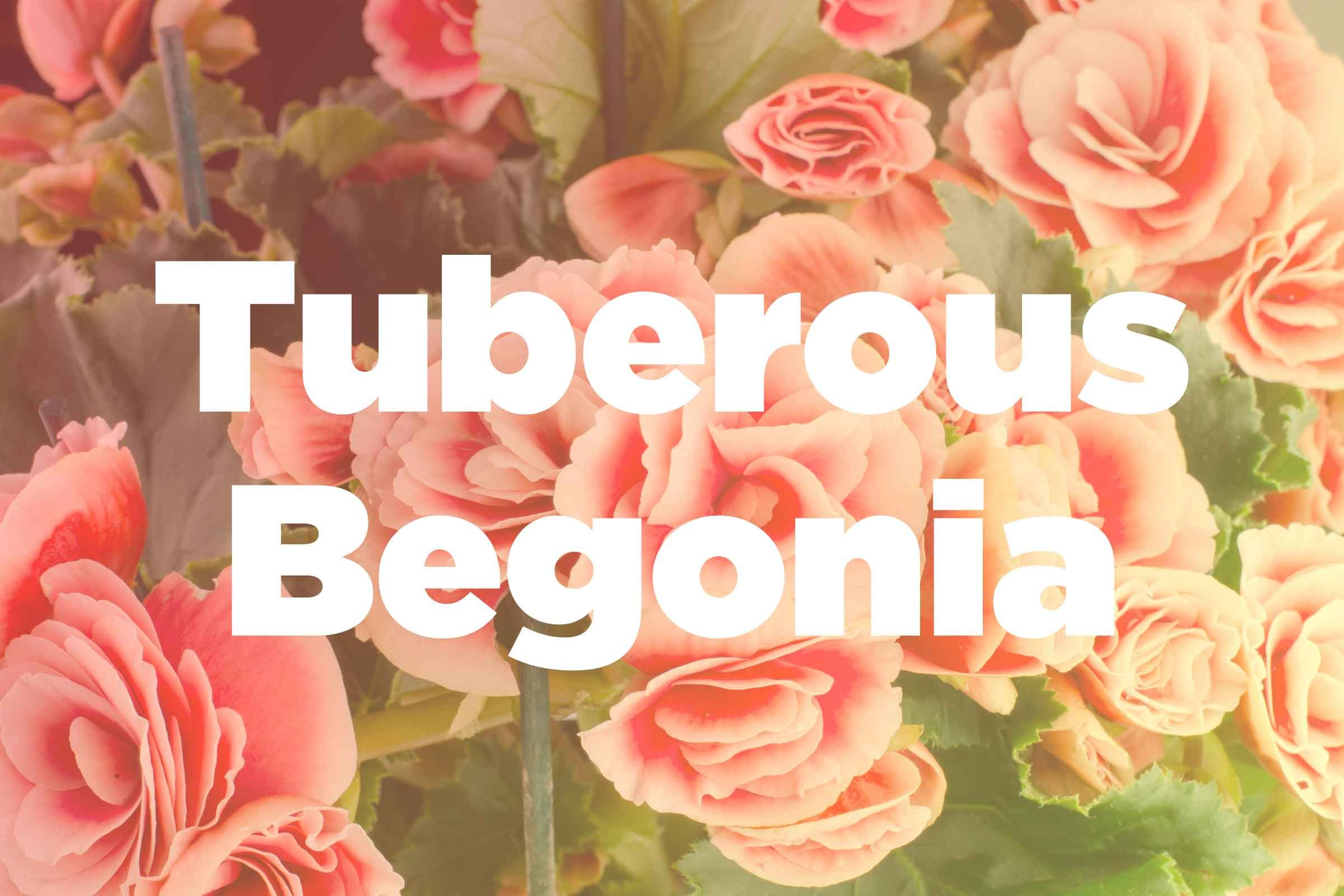 Rous Begonia