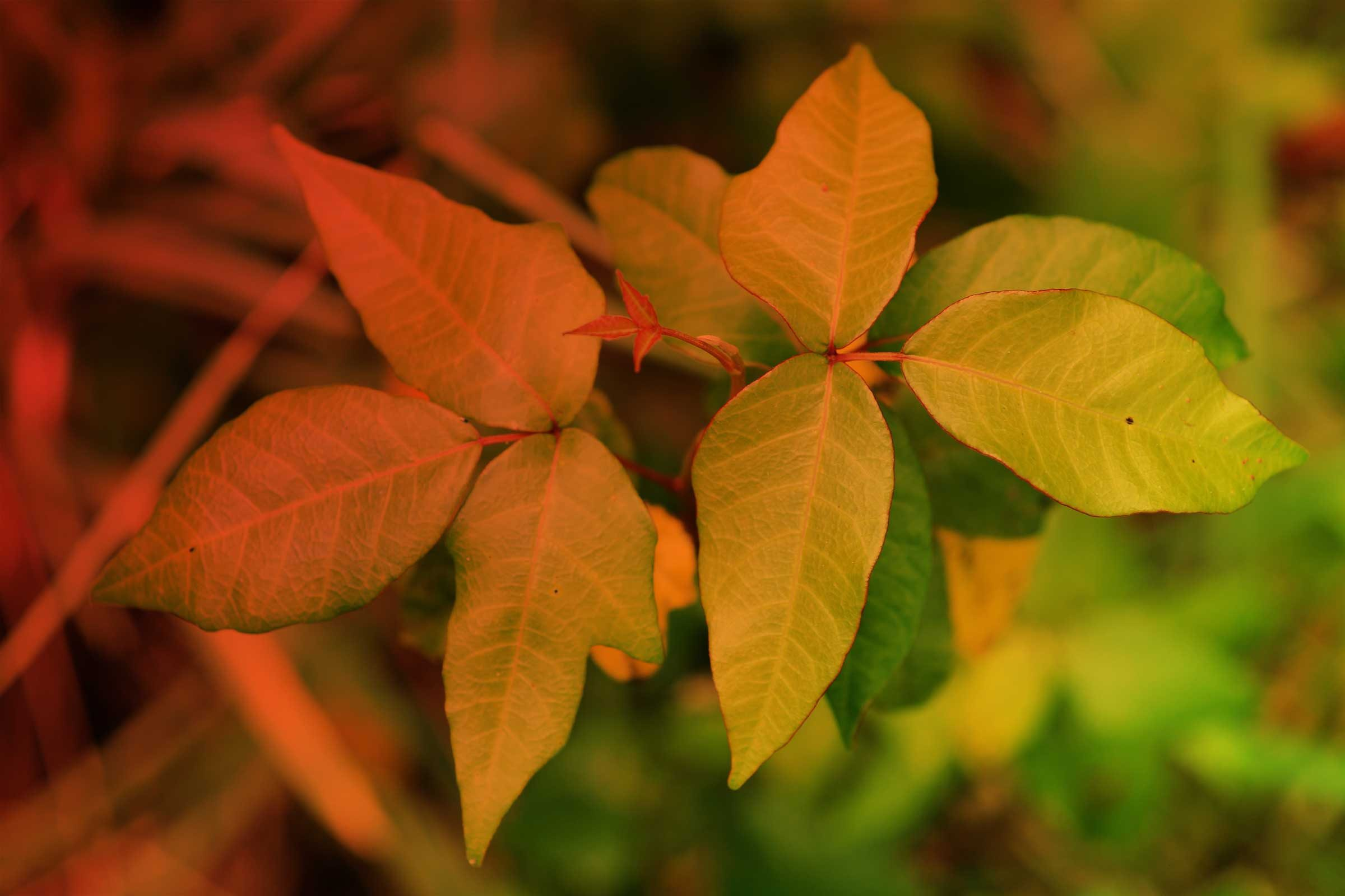 What Does Poison Ivy Look Like? How to ID and Avoid It ... - photo#2