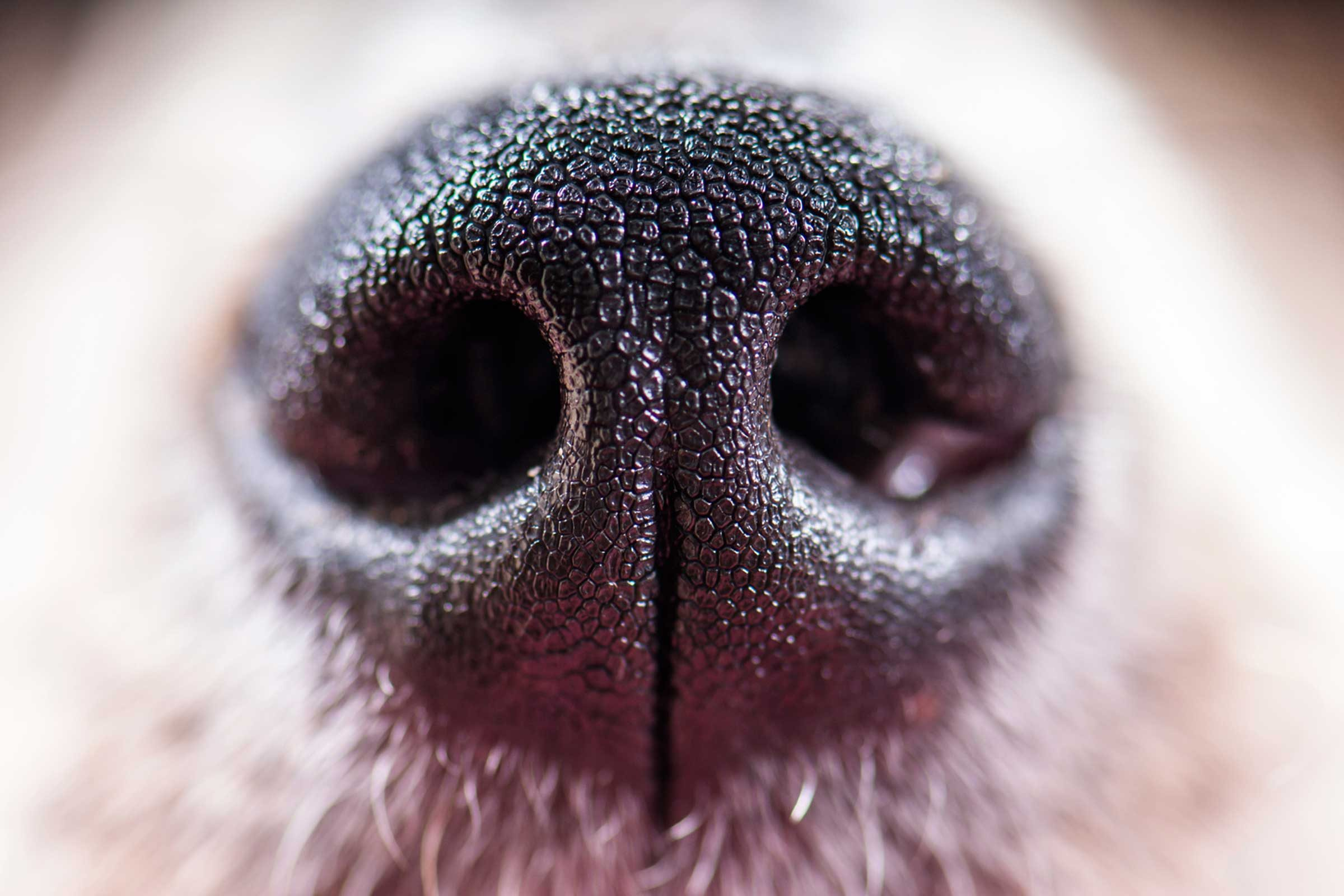 No two dog noses are the same.