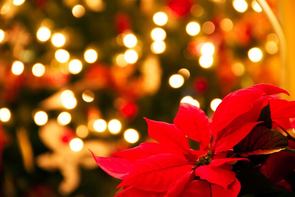 why poinsettias are the official christmas flower  reader's digest, Natural flower