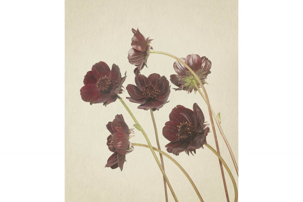 you-wont-believe-these-flowers-are-actually-photos-Chocolate-Cosmos-Richard-maxted