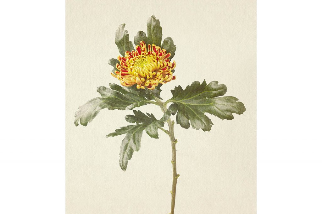 you-wont-believe-these-flowers-are-actually-photos-Chrysanthanum-Richard-maxted