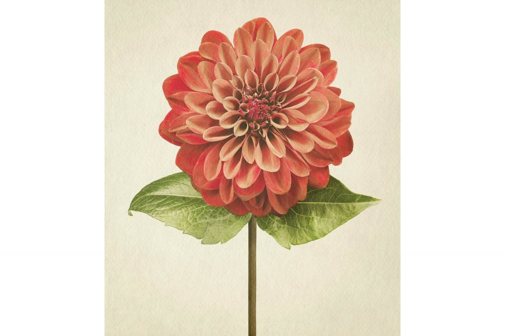 you-wont-believe-these-flowers-are-actually-photos-Dahlia-Richard-maxted