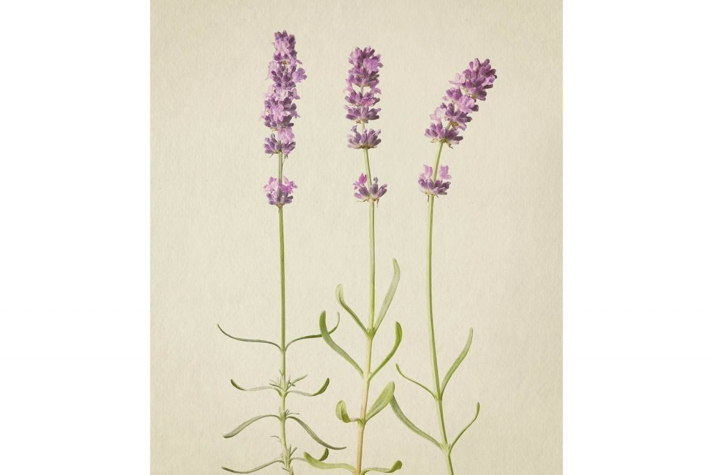 you-wont-believe-these-flowers-are-actually-photos-Lavender-Richard-maxted