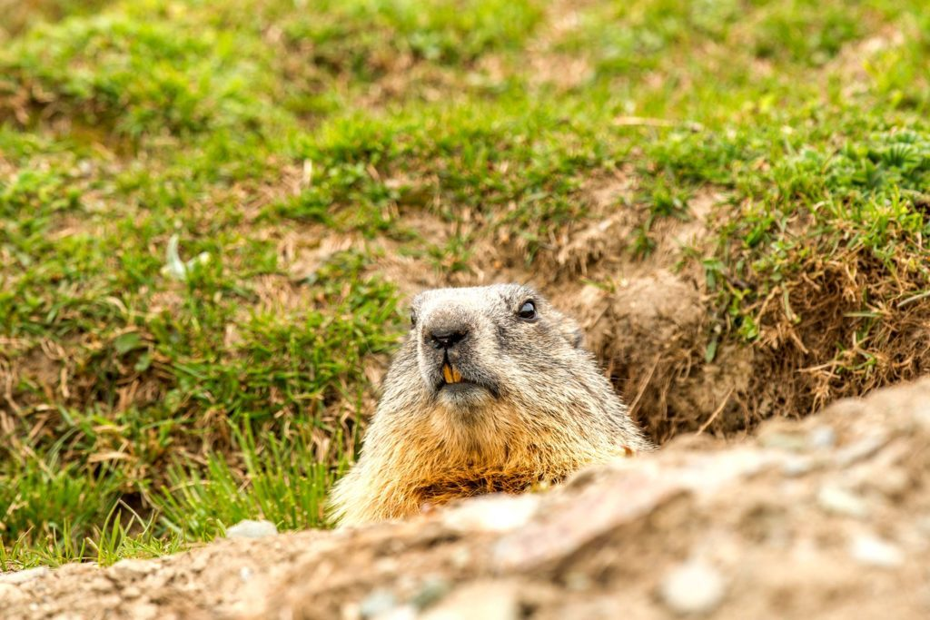 The History of How Groundhog Day Started | Reader's Digest