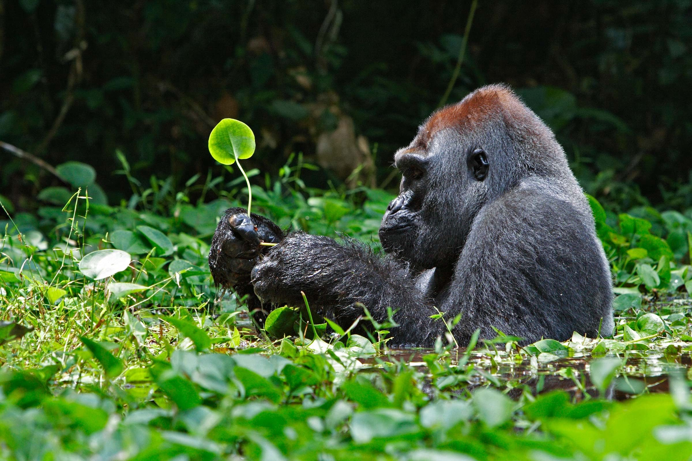 here u0027s what a 300 pound silverback gorilla eats reader u0027s digest