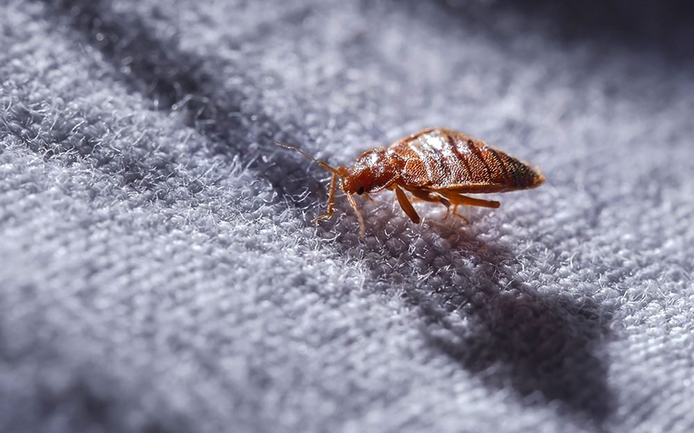 How do you know if you have bedbugs reader 39 s digest for How do i prevent bed bugs