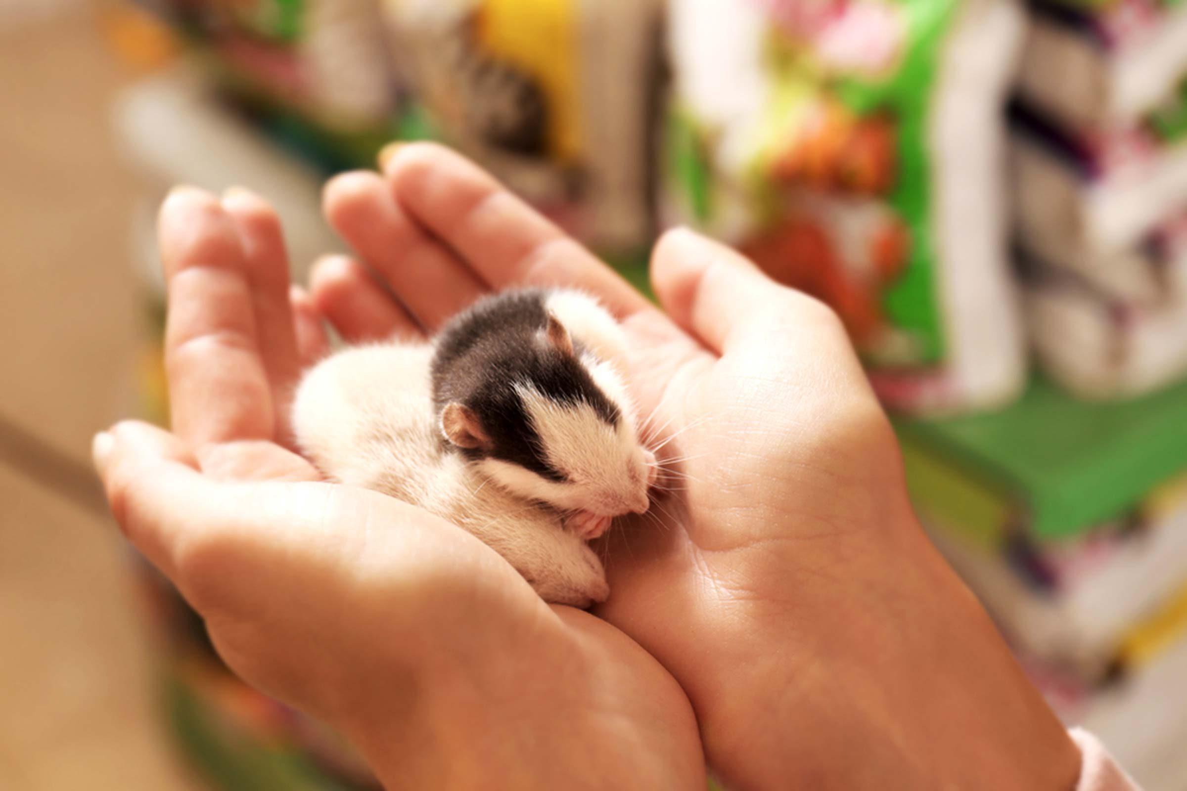 Animalerie: Les rats sont très amicaux