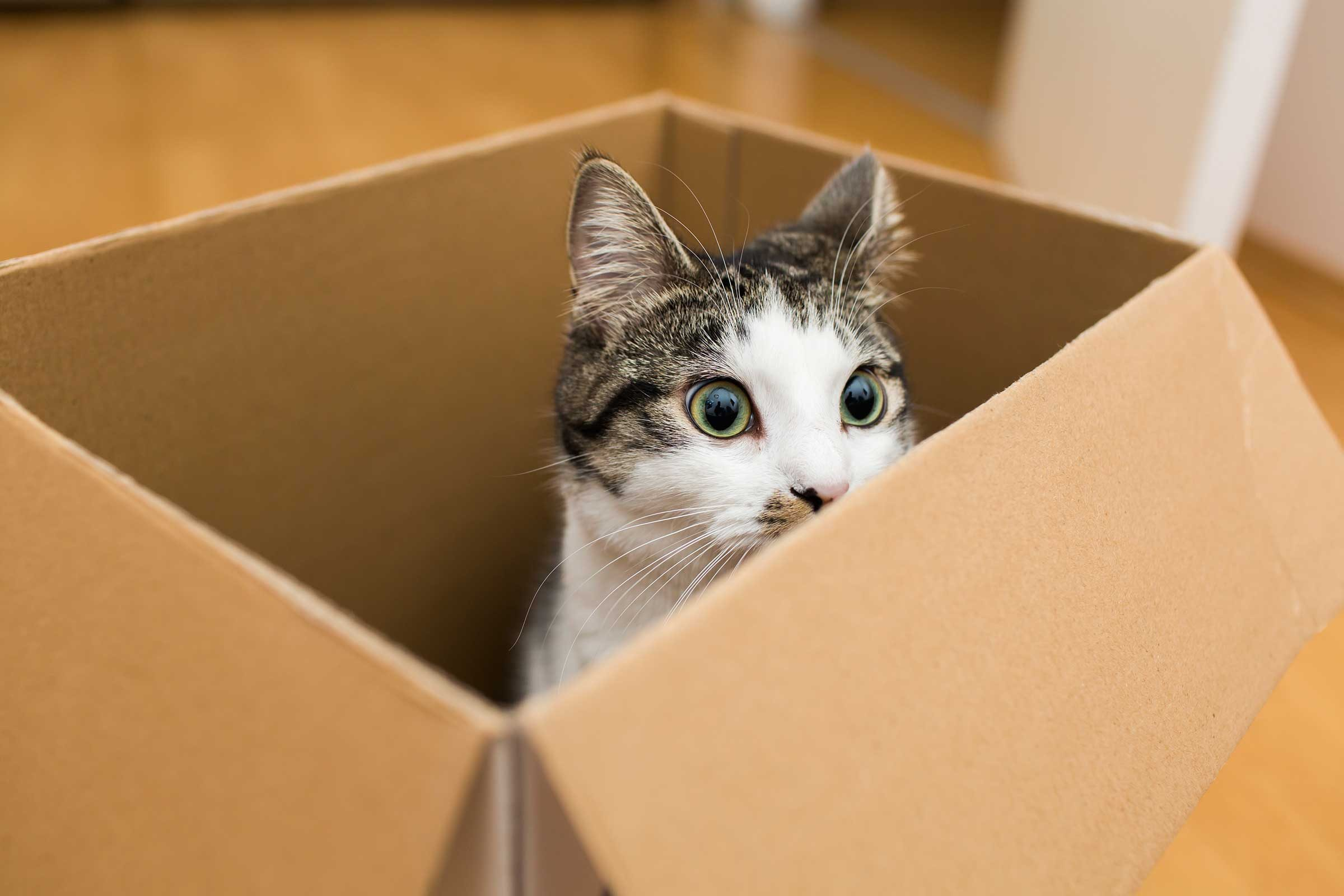 Why Cats Love Boxes According To Science
