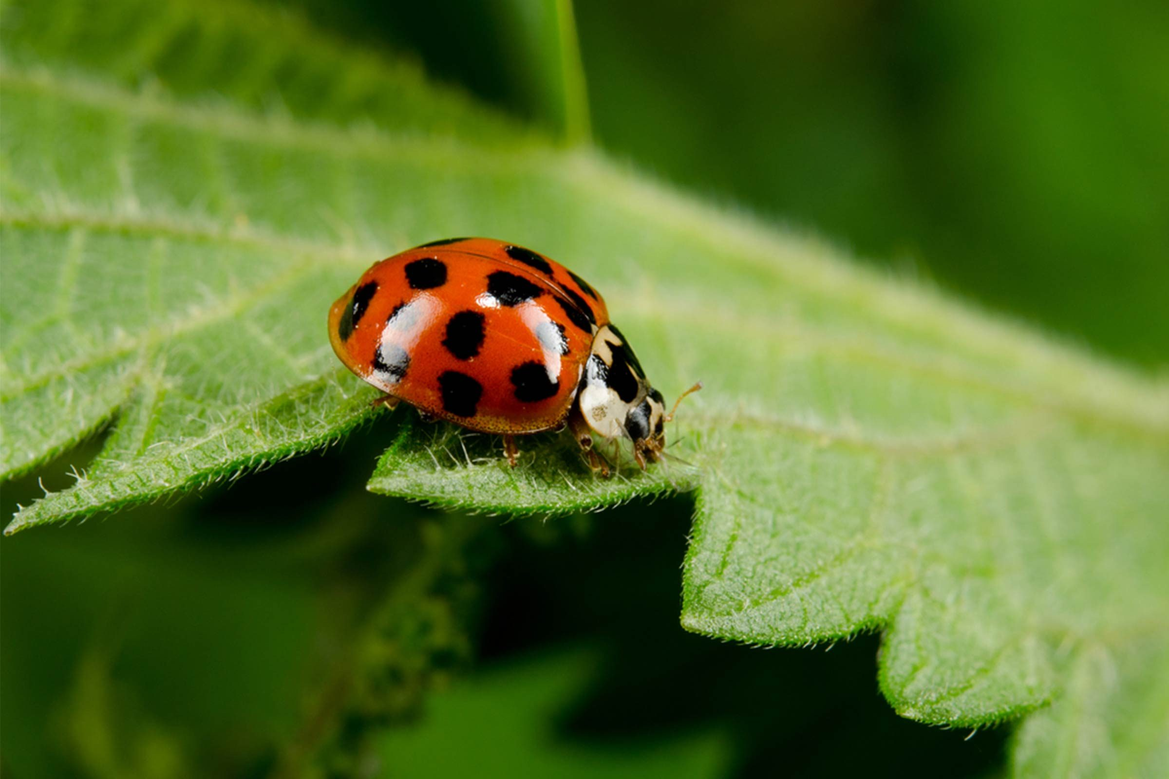 Asian Lady Beetles The Scary Ladybug Lookalike Reader S